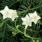 USA SELLER White Cypress Vine 25 seeds