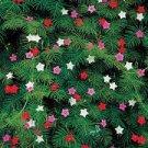 USA SELLER  Cypress Vine Mixed 25 seeds