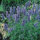 USA SELLER Catmint 25 seeds