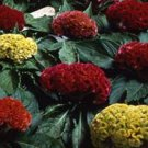 USA SELLER Cockscomb Mix 25 seeds