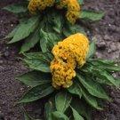 USA SELLER Cockscomb Yellow 25 seeds
