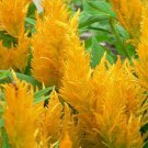 USA SELLER Celosia Glitters Yellow 25 seeds