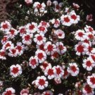 USA SELLER Merry-Go-Round Dianthus 100 seeds
