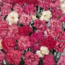 USA SELLER Spring Beauty Mix Dianthus 100 seeds
