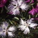 USA SELLER Superbus Fringed White Dianthus 100 seeds