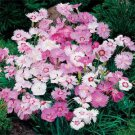 USA SELLER Sweetness Mix Dianthus 100 seeds