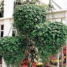 USA SELLER Dichondra Emerald Falls 100 seeds