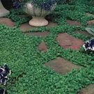 USA SELLER Dichondra 100 seeds