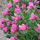 USA SELLER Rose Bedder Bugloss 25 seeds