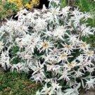 USA SELLER Edelweiss 25 seeds