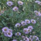 USA SELLER Erigeron Speciosus Macranthus 25 seeds