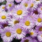 USA SELLER Erigeron Pink Jewels 25 seeds