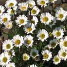 USA SELLER Erigeron Pink Rocky 25 seeds