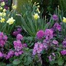 USA SELLER  Pink Fairy Primrose 10 seeds