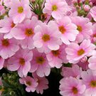 USA SELLER  Light Pink Fairy Primrose 10 seeds