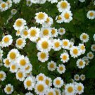 USA SELLER Feverfew 100 seeds