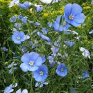 USA SELLER Sky Blue Flax 100 seeds