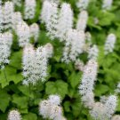 USA SELLER Foamflower 25 seeds