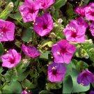 USA SELLER Pink Four O'Clock 25 seeds