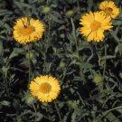 USA SELLER Blanket Flower Aurea Pura Yellow 50 seeds