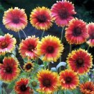 USA SELLER Blanket Flower Aristata Bremen 50 seeds