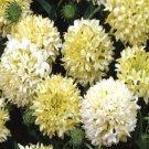 USA SELLER Blanket Flower Sundance Creamy White 50 seeds