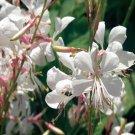 USA SELLER Gaura 10 seeds