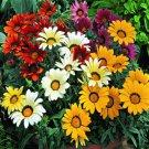 USA SELLER Gazania Garden Leader Mix 10 seeds