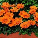USA SELLER Gazania Garden Leader Orange 10 seeds