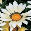 USA SELLER Gazania Garden Leader White 10 seeds