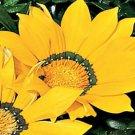 USA SELLER Gazania Garden Leader Yellow 10 seeds