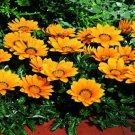 USA SELLER Gazania Kiss Golden Yellow 10 seeds