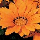 USA SELLER Gazania Kiss Orange 10 seeds