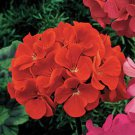 USA SELLER Scarlet Geranium  25 seeds