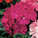 USA SELLER Violet Geranium  25 seeds