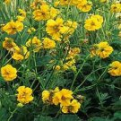 USA SELLER Avens Lady Stratheden  25 seeds