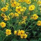 USA SELLER Avens Lady Stratheden  25 seeds
