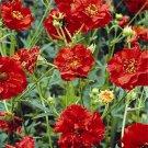 USA SELLER Avens Mrs. Bradshaw  25 seeds