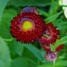 USA SELLER Deep Scarlet Everlasting 100 seeds