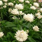 USA SELLER Pearlly Everlasting 100 seeds