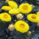 USA SELLER Yellow Everlasting 100 seeds