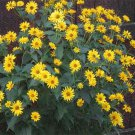 USA SELLER Yellow Heliopsis 50 seeds