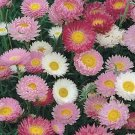 USA SELLER Paper Daisy Mix 50 seeds