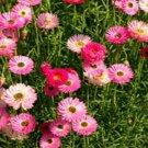 USA SELLER Paper Daisy Rose Mix 50 seeds