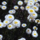 USA SELLER White Paper Daisy 50 seeds