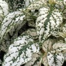 USA SELLER Splash Select White Polka Dot Plant 10 seeds