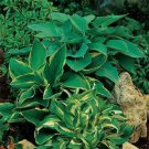 USA SELLER American Hosta Mix 10 seeds