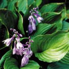 USA SELLER Plaintain Lily 10 seeds