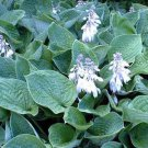 USA SELLER Hosta Elegans 10 seeds