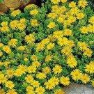 USA SELLER Yellow Ice Plant 25 seeds